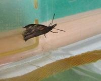 タテハチョウの仲間っぽい羽根ですが、セセリチョウのようにも感じます。種類がわかるかたいましたら、教えてください。