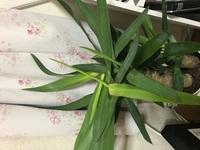 観葉植物のユッカを、不注意で落としてしまい、上に真っ直ぐ伸びるユッカの葉っぱが曲がってしまいました。  どう手入れしたら良いですか?