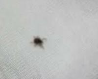 玄関扉の外側上の方に巣を作ろうとしていた、てんとう虫をうーんと小さく米つぶの3分の1くらいの黒い虫が5,6匹いました。 すぐにほうきで払い落としたのですがなんの虫かわかりますか? 全て潰したので写真はあり...