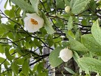 木の名前をおしえてください。 家を建てるときにお任せでいくつか木を植えてもらいましたが、名前がわかりません。 6月に入り花が咲くようになりました。 咲ききっていないのにポトポト花が 落ちてしまってい...