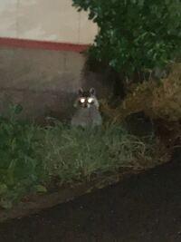 家の前にたぬきかアライグマかがいたんですけどこれたぬきかアライグマどっちですかね??