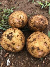 ジャガイモを収穫したところ、赤い斑点のようなものができているジャガイモが多くありました。これは何らかの病気でしょうか。