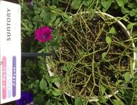 サフィニアの切り戻し?  葉のない茎、鉢の中の状態です。 教えて下さい。