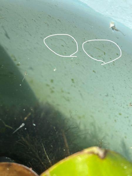 メダカの稚魚を入れてるバケツに、謎の細長い虫が、大量に発生しました。すこし調べたらミズミミズと出てきました。これは水ミミズですか? ウネウネするというよりも、バケツの側面に、ボールペンで線をかいたように張り付いてます。