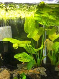水草の名前を教えてください。(画像あり) 表題の通りです。  画像にある大きな丸い葉の水草の名前を教えてください。   手前のアヌビアスナナと浮草のアマゾンドワーフピットではない水草のことです。  分かりず...