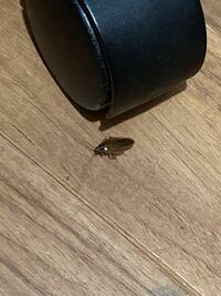 この虫はなんですか? 体長1.5センチくらいです。最近家の中に出るようになりました。 ゴキブリなのかな?と思いゴキブリホイホイ的なものを虫の前に置いてもまったく反応しません。 気持ち悪いので駆除したいのですが、何かよい方法はないでしょうか?