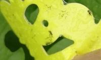 プランターで野菜を育てているのですが、コバエのような小さな虫が多く発生しています。 あまり効果がない虫とり粘着シートで捕らえました。 これは何という名称の虫ですか?害虫ですか? いろいろな野菜の葉や...