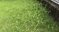 自宅の芝生に雑草が生えてきました。  雑草対策で根本から抜き取ろうとすると、根元で茎が抜けてしまい、根っこまで駆除できません。  雑草の名前と、抜き方や除草剤の種類など、ベストな対 処方法をご教授く...