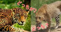ヒョウとジャガーの違いだ ほら、早く教えろ