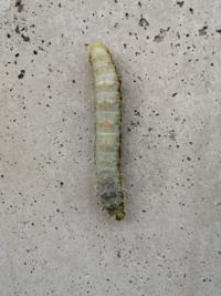 蛾の幼虫に間違い無いと思うのですが、大型で100mm程の長さでした。蛾の幼虫にしては地味な印象です。画像検索しても見つかりませんので、お詳しい方教えていただけますか?