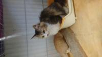 この猫は中毛ですか? 長毛ですか? 毛の長い猫を保護して里親に出すべく人慣れ訓練中ですが、抜け毛がすごいのでスリッカーブラシでは追い付きません。 まだ猫の気分によって触れたり触れなかったりするのでブラ...