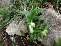 この植物の名前を教えてください。  ホウチャクソウ、アマドコロ、ナルコユリ、どれでしょうか?