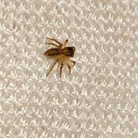 蜘蛛に詳しい方お願いします。 こちらのクモは何という種類でしょうか?全長5mm程です。チリグモにしては前出てきたものとはやや形状が違うみたいなので気になりました。 宜しくお願いします。
