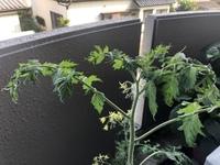 プランター栽培中のミニトマトですが、このように成長点などがチリチリ縮んでいるのに気がつきました。 この原因はなんでしょうか?