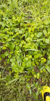 この丸っぽい葉の植物の名前を教えて 下さい
