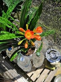 もうすぐ夏を迎えようという時期なのに、クンシランが季節外れの開花をしてしまいました。  画像の株は3月頃に開花の様子がなく、今年はもう無理かな・・・と思っていたので、開花自体は嬉し いのですが、なぜ今になって咲いたのかはやはり気になります。  施肥のペースや、11月〜5月までは屋内に入れてガラス越しの日光に、それ以外の時期は遮光カーテン下の屋外管理等、基本事項は守って来たつもりなんで...