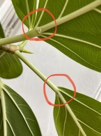 観葉植物の病気ですか?  観葉植物の葉の裏側の根本付近に白くフワフワしたものが付いています。  病気でしょうか? 対処法わかる方教えてください。