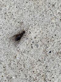この羽アリは黒蟻の羽アリでしょうか? 玄関前の駐車場にたくさんいます。