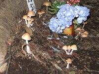 キノコに詳しい方にお聞きします。 ネコのお墓のある木の根元からこのようなキノコが出てきましたが何というキノコでしょうか?