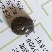 虫に詳しい方。このコーヒー豆そっくりな虫はなんですか?なんの種類ですか? リビングに現れた虫です。これは、一体なんの虫で、どこから入ってくるのでしょうか?  あと、どんな特性のある虫ですか?人を噛みますか?   教えて下さい!(>_<)