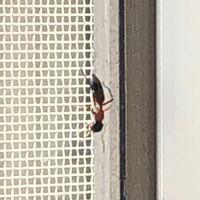 虫にお詳しい方よろしくお願いします 添付写真の虫が突然家にあらわれました。 やけど虫かと思いましたが 格好が少し違いました。 アリでしょうか? 害がなければ良いですが…