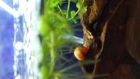 メダカの水槽に、白い小さい虫が大量発生しています。 なんという虫なのか気になっています。 1ミリにもみたない、ホコリかというくらい小さいものです。 イトミミズのような長さはないです 。流木をはいずり...