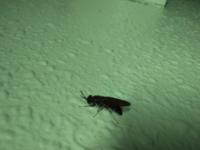 これ何の虫か分かる方いらっしゃいます? 最近家の中で羽アリがよくでるのですが、女王とかですかね・・・