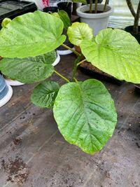 この観葉植物の名前を教えてほしいです。 ホームセンターで「観葉植物」としか書いてなく、店員も分からないとのことだったのでわかる方よろしくお願いします。