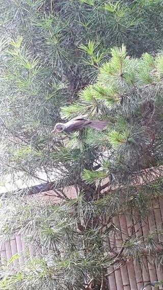 クワァクワァクワァ,鳴き声,鳥,ヒヨドリ,親子,巣,幼鳥