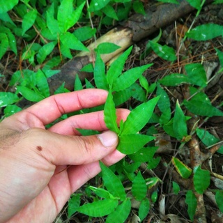 沖縄中部,葉っぱ,チジレザサ,ケチヂミザサ,チジミザサ,植物,ヤマドリ