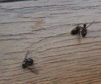 室内に発生する蟻に困っています。  1週間ほど前から、2階の寝室に蟻(1cmくらい)が大量発生するようになりました。 22時くらいから出現し始め、殺虫剤で駆除しても次から次へと発生し毎日悩 まされています。 リフォーム業者に頼んで壁に穴を空けたり、窓のサッシを外したりして調べてもらいましたが原因が見つかりませんでした。  白蟻駆除業者曰く、この蟻は家を食べる種類ではないとのことで...