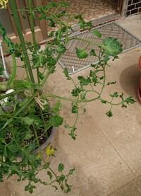 プチトマトです。 この葉は何が原因ですか?