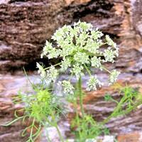 植物の名前を教えてください。  (ノラニンジンかなぁ?)