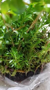 水草についての質問です。  本日、水草を購入しました。 ワイヤープランツの下に何種類か違う水草があるのですが、どなたか水草の名前がわかる方はいらっしゃいますか? 手前にある小さな水 草です。よろしく...