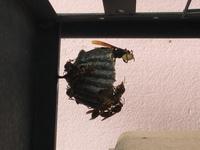 ベランダに蜂の巣ができ始めています。 これどうしたら、、こんなこと初めて