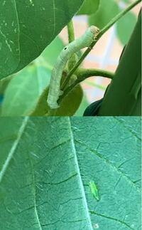 家庭菜園の枝豆に虫食い発見!虫食いが2種類いました。写真に写っている虫の対処法を教えてください!