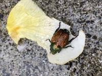 バラの花に潜り込んでいたこの虫はコガネムシでしょうか? 調べてもハナムグリやカナブンに似ていて分かりません(>_<;)