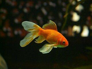 金魚,グランマルニエ,ヒラリー,名前,スカーレット,呼び名,アカリ