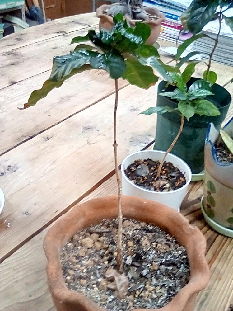 コーヒーの木を育てているんですが、木の先端部分の葉っぱが大変なことになっていて、これをどうにかする方法を知りたいのです。 先端には貝殻虫が大量にいたので、取り除きました。 やはり、殺虫剤をかけて植え替えをするべきなのでしょうか?