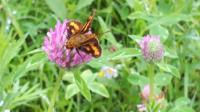 この蝶々の名前を教えてください。 セセリ蝶の仲間ような・・・