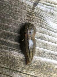 先日、関西の管理釣り場に行きました。ふと、足元を見ると写真のような生物がいて、びっくりしました。この生物は、なんでしょうか。分かる方お願いします。 ヒルですかね。素人なのでわかりません。