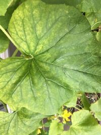ベランダのプランターでメロンを育てていますが、葉が写真のようになってしまいました。 これは病気か何がでしょうか。 何か対処法があれば教えていただきたいです。  また、実が直径5センチ強ほどまで育ってきて...
