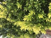 この木の名前ご存知でしたら教えてください。 葉は明るく、新芽は黄色がかっていて実がなっていました。 よろしくお願いします。