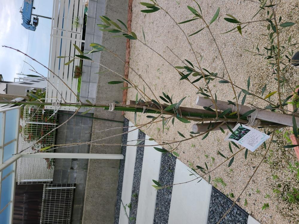 1年ほど前に1m50cm程のオリーブの木を地植えしています。4月頃から段々と葉が落ちて来ました。 緑色のまま、葉の形状もそのままで落ちます みるみる落ちて来て新芽が出て来ている感じもありま せん。 オリーブの木の下にガーベラを植えているのですがこっちはとても元気です。 原因が分からずに困っています。 誰か原因が分かる方いましたら助けて頂きたいです よろしくお願いします。