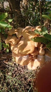 下記のキノコを近くの公園で見つけました。 なんて言うキノコでしょうか?また、食べられますか?
