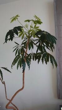 頂きものの観葉植物なのですが、名前をわかる方、教えて下さい。