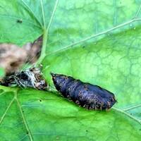 蛹の成虫を教えてください。