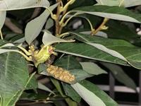 このイモムシはなんという種類ですか? 木に近づいたらぱちぱちと音がしていて、葉っぱについていました。 害虫なら駆除したいです。