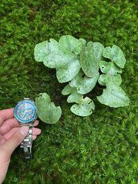 お寺の苔の中に生えておりました。 植物の名前をお分かりになりますでしょうか?