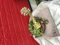 多肉植物です、名前も分からずに自宅にあるのですが、画像の通りの状態になりました。花のつぼみのようにも見えるのですが、この植物の名前とどう言う状況かを教えていただきたく宜しくお願いし ます。